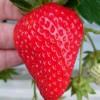 甘いイチゴの作り方お教えいたします(^^)/