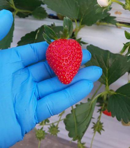 祝 苺初収穫